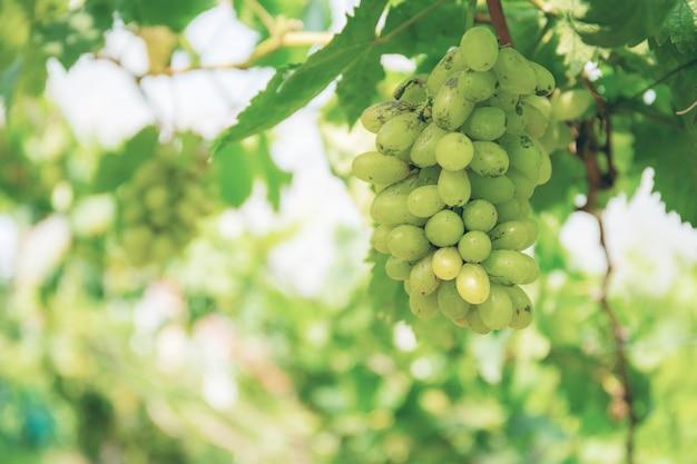 Uvas brancas na árvore.