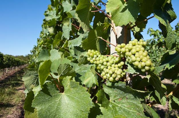 Uvas brancas no vinhedo