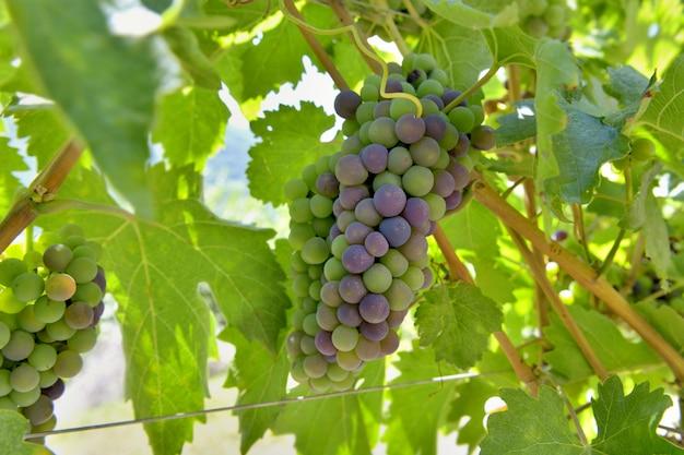 Uvas, crescendo, em, a, grupo