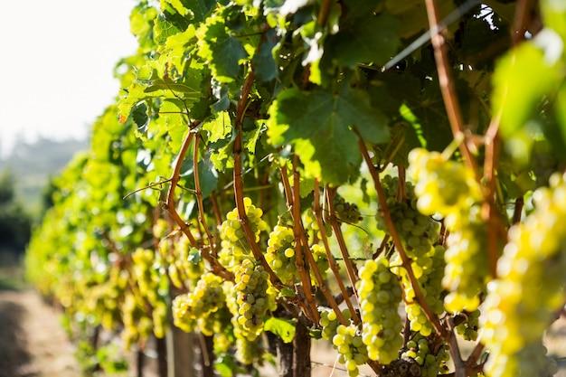 Uvas crescendo em vinhedo