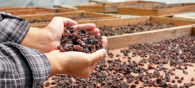 Uvas de groselha na mão jovem na frente do pátio de secagem de passas orgânicas.