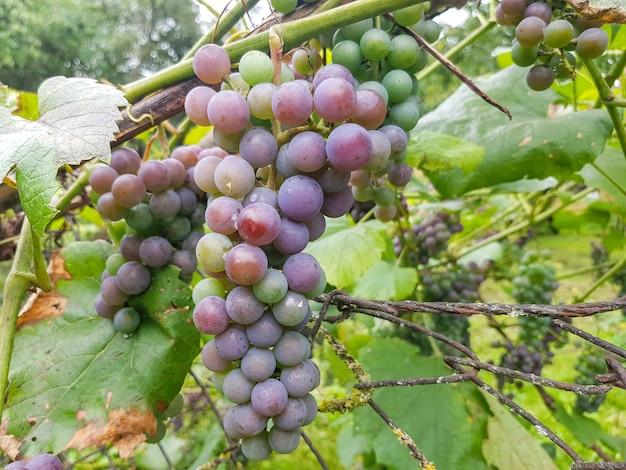 Uvas de jardim de cor azul penduradas em um galho closeup