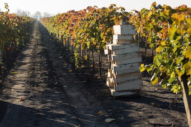 Uvas de outono com folhas vermelhas, a videira ao pôr do sol é amarelo avermelhado