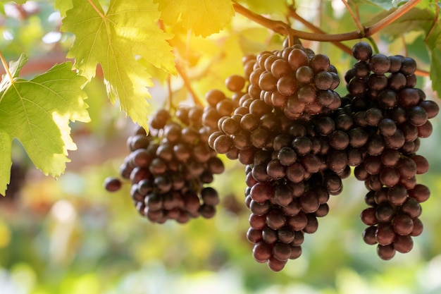 Uvas de videira na colheita