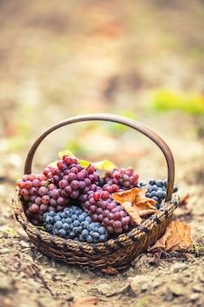 Uvas doces e saborosas na madeira aquecido após uma colheita de outono.
