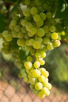 Uvas em vinhedo