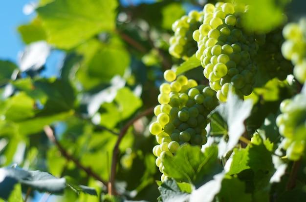 Uvas fecham-se no vneyard
