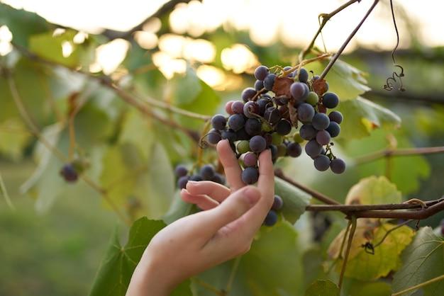 Uvas, folhas verdes naturais, vinificação