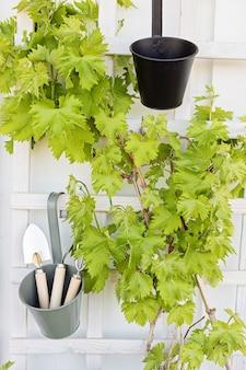 Uvas jovens e ferramentas de classificação. varanda com jardim, hobby, conceito de lazer