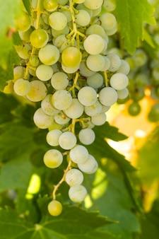 Uvas, ligado, um, vinhedo
