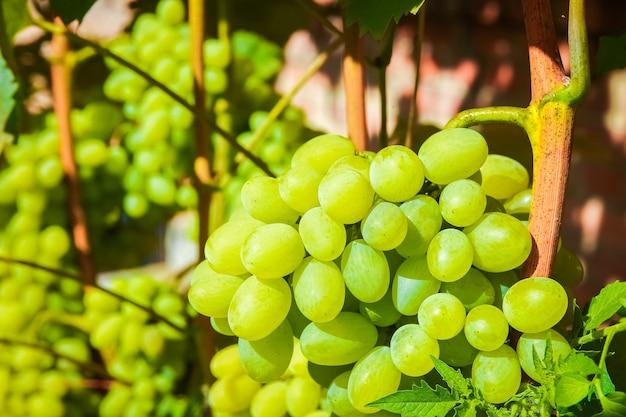 Uvas lindas no parque no fundo do campo natural