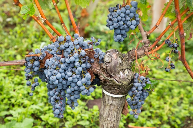 Uvas maduras cabernet na videira que cresce no vinhedo de bordéus
