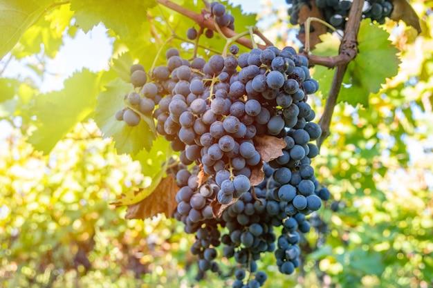 Uvas maduras de saperavi em um vinhedo antes da colheita, kakheti, geórgia.