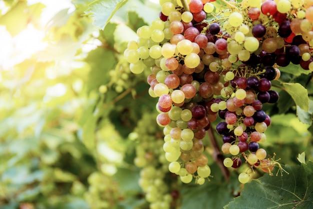 Uvas maduras na árvore na luz solar.
