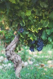 Uvas maduras no galho sob a luz do sol