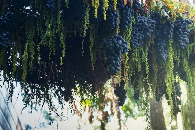 Uvas maduras pendurado na exibição de árvore no festival de comida