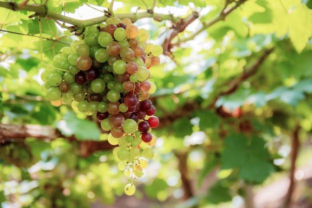 Uvas na árvore na exploração agrícola.