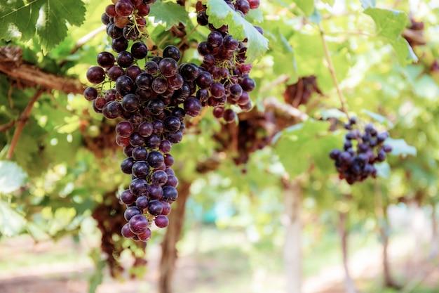 Uvas na árvore na fazenda.