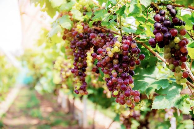Uvas na árvore na luz solar.