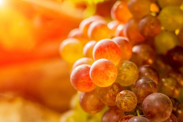 Uvas no sol dourado de manhã.
