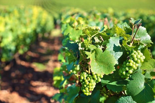 Uvas para vinho brancas que crescem em um vinhedo
