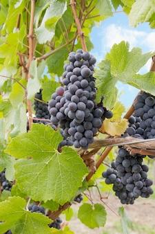 Uvas para vinho vermelhas crescendo em videiras verticais