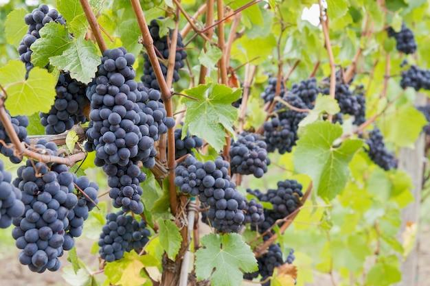 Uvas para vinho vermelhas crescendo em videiras