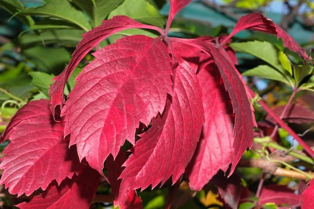 Uvas selvagens com folhas vermelhas fotografia macro close-up de natureza morta de outono