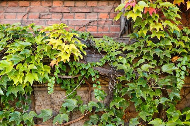 Uvas selvagens que escalam um fundo da parede de tijolo.