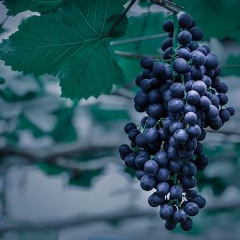 Uvas suculentas surpreendentes na videira imediatamente antes da colheita