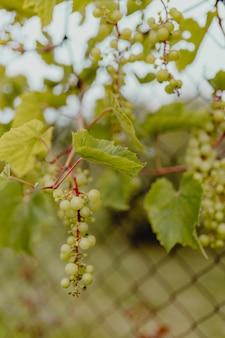 Uvas verdes em uma videira