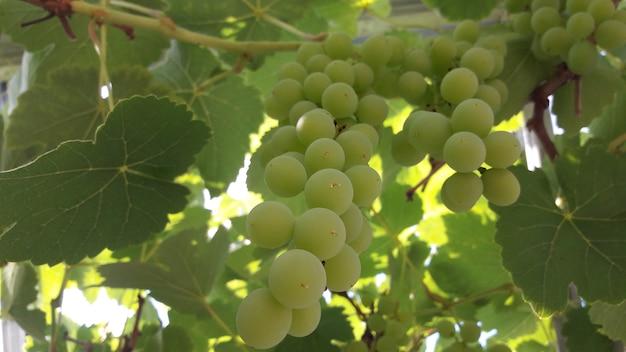 Uvas verdes frescas com folhas verdes no ramo de uva