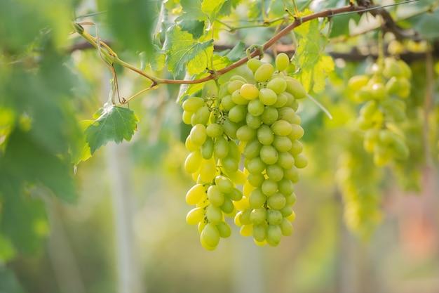 Uvas verdes na videira no vinhedo.