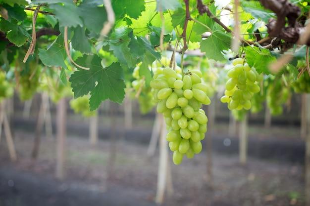 Uvas verdes penduradas em um arbusto
