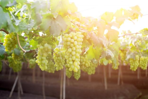 Uvas verdes que penduram em um arbusto, damnoen saduk, província de ratchaburi. tailândia