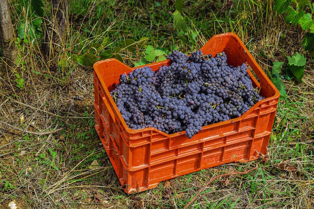 Uvas vermelhas em caixa de plástico, no chão