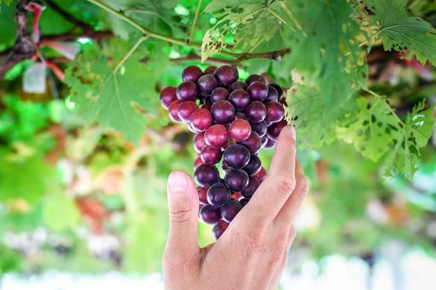 Uvas vermelhas maduras nos agricultores mão na vinha
