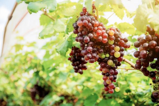 Uvas vermelhas na árvore.