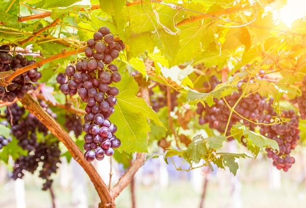 Uvas vermelhas na vinha pronta para a colheita