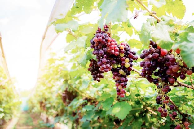 Uvas vermelhas no vinhedo na luz solar.
