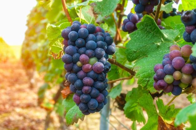 Uvas videira, em, champanhe, região, em, outono, colheita, frança