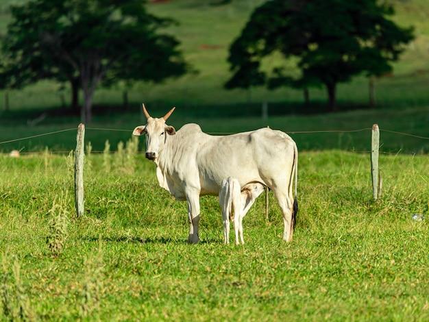 Vaca amamentando bezerro no gramado em um dia ensolarado.