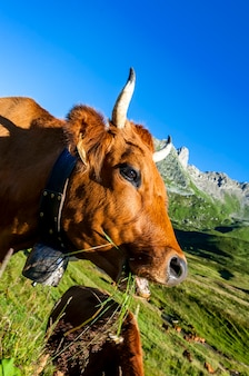 Vaca, animal de fazenda nos alpes franceses, vaca de raça abondance, savy, beaufort sur doron