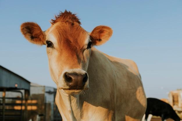 Vaca aubrac resgatada, santuário de soledad