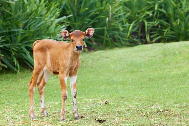 Vaca bebê recém-nascido engraçado na fazenda fica na grama verde e olhando para a câmera