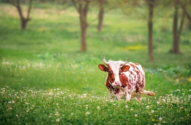 Vaca branca com manchas marrons pastando entre dentes-de-leão