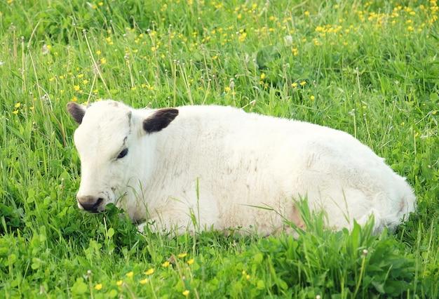 Vaca branca na grama verde, verão
