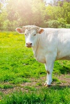 Vaca branca no prado verde