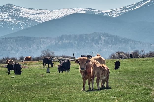 Vaca com seu filhote de bezerro marrom comendo nos belos prados