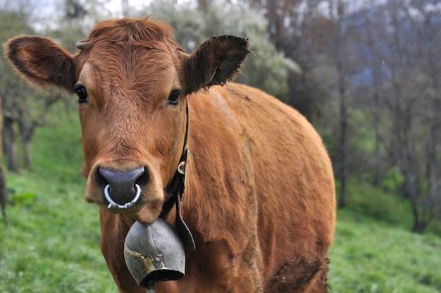 Vaca com sino e anel